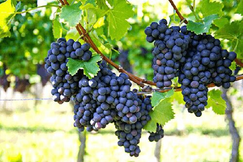 iespējas vīnogulāju pirkt