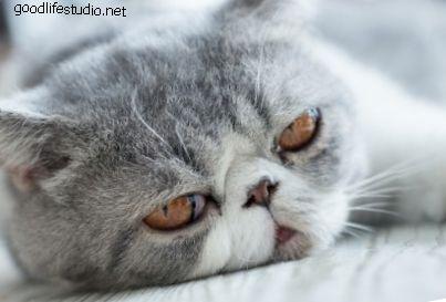 kaķu variants