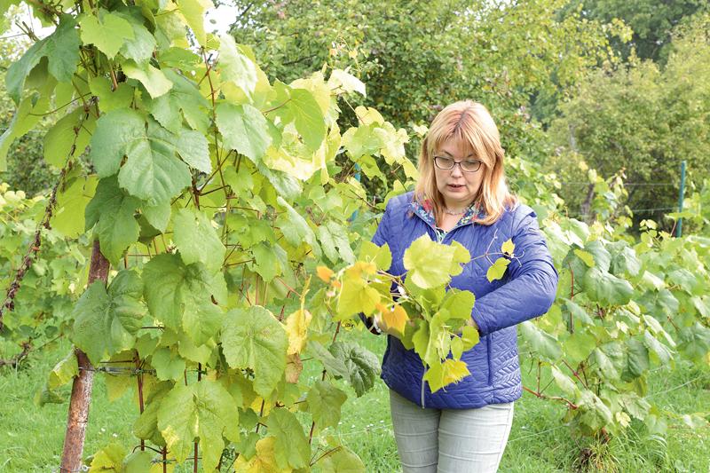 Pašu audzētas vīnogas